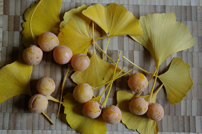 photo de fruits et feuilles de Ginkgo